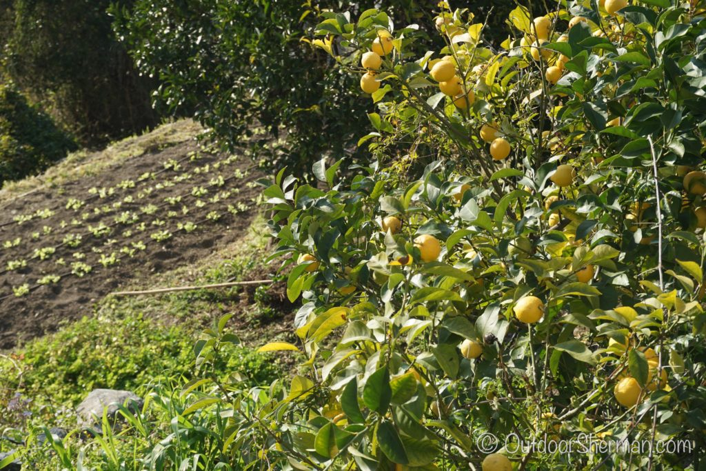 Beautiful Lemon Trees in Cinque Terre